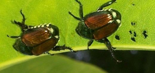 Japanese Beetle Population Thickens