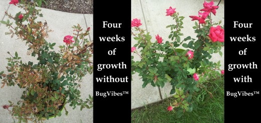 Grow Roses Organically Without Pest Damage