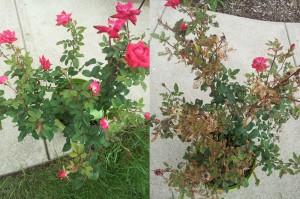 Roses Grown for Four Weeks With (Left) vs Without (Right) BugVibes