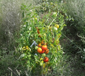 Self Pollinating Tomatoes