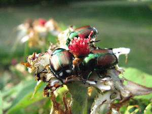 Feeding Japanese Beetles
