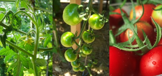 Self Pollinating Tomatoes - Flower to Vine to Table