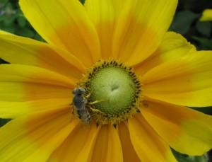 Yellow Flower and Honeybee Pollination