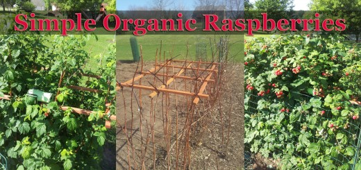 Growing Organic Raspberries