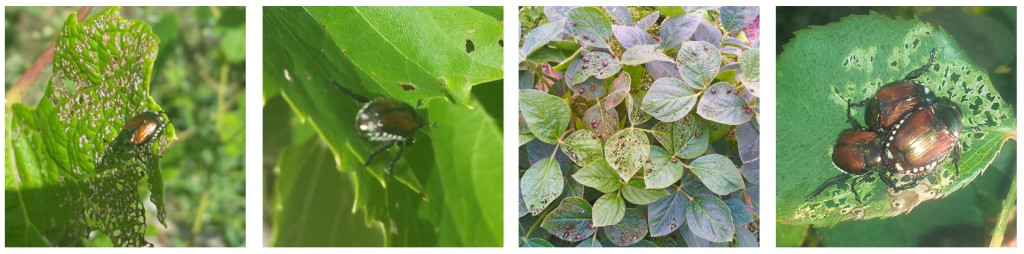 Japanese Beetle Devastation