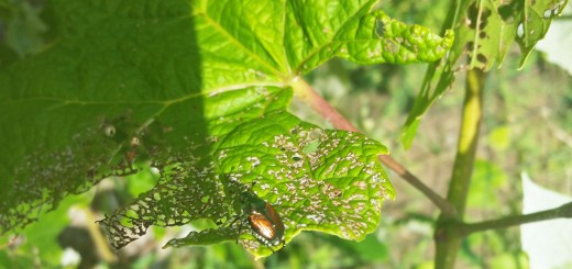 Peak Japanese Beetle Season