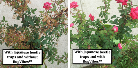 With_Beetle_Trap_Potted_Rose_With_and_Without_BugVibes